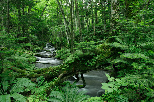 原生林の流れ