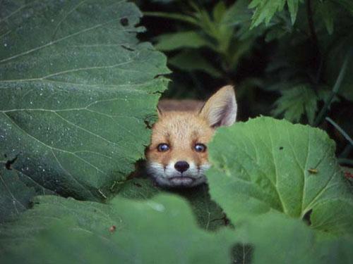 葉の隙間から覗くキツネがかわいい