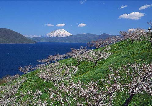 梅と羊蹄山